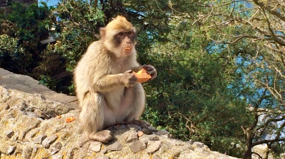 Affe auf dem Fels von Gibraltar