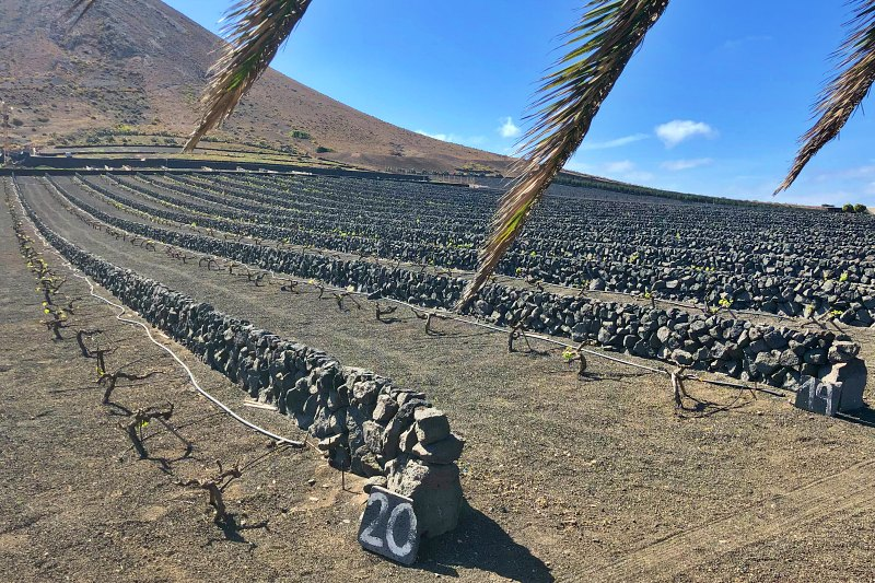 Weinanbau auf Lanzarote beim Landausflug Lanzarote auf eigene Faust