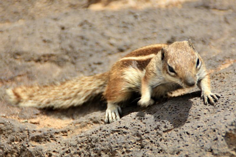 Atlashörnchen beim Landausflug Fuerteventura auf eigene Faust